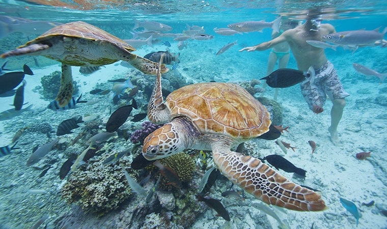 Sea turtles in Tahiti