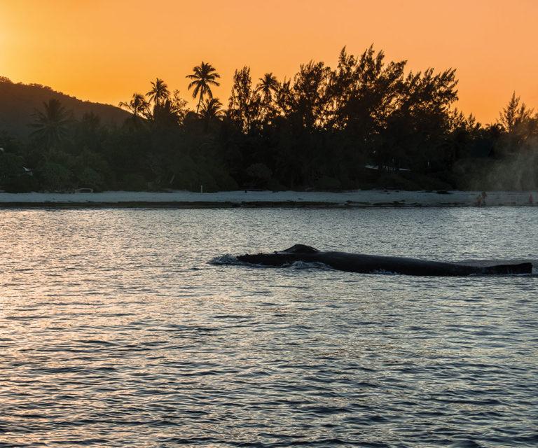 Amazing Whale Watching in Tahiti & Bora Bora!