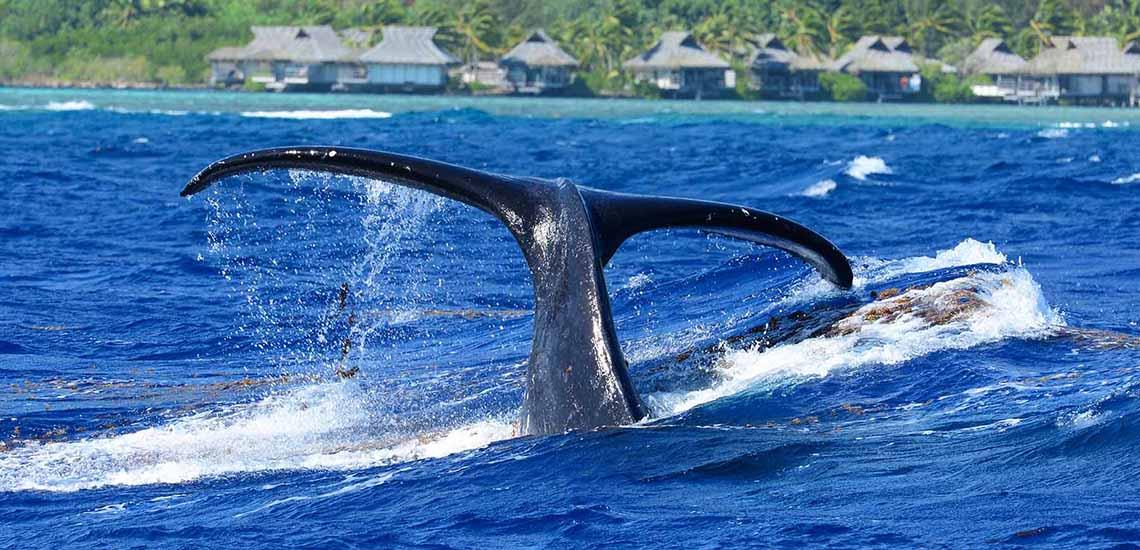 https://tahititourisme.com/wp-content/uploads/2018/07/Moorea-Whale-Diving-1140x550.jpg