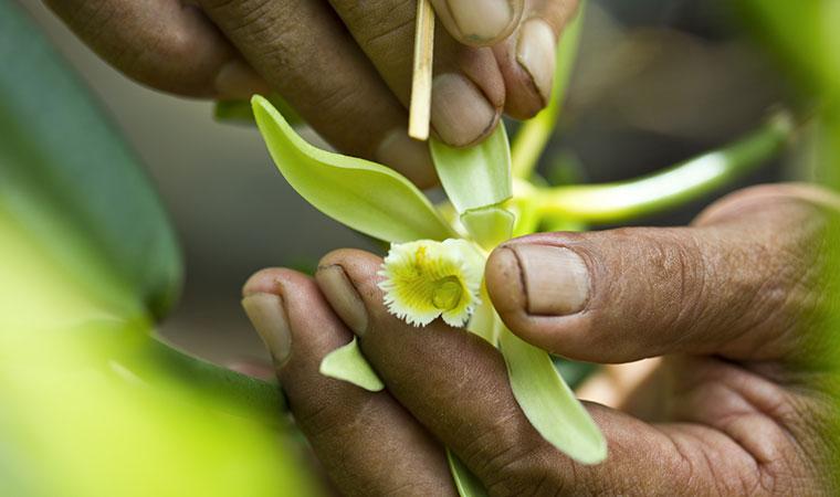 pollinating a tahitian vanilla flower