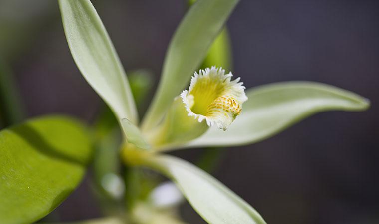 tahiti vanilla flower