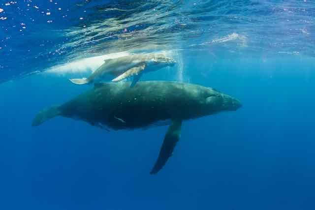 https://tahititourisme.com/wp-content/uploads/2019/04/Bora-Bora-Humpback-Whales.jpeg