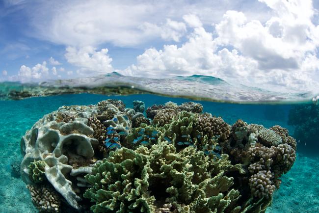 Tahiti Coral