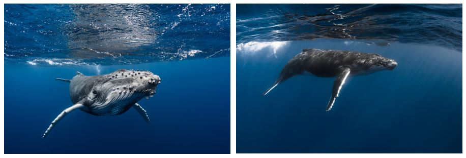 swimming with whales in Tahiti