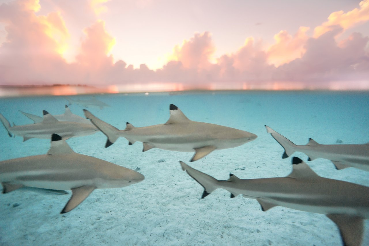 https://tahititourisme.com/wp-content/uploads/2020/06/blacktip-reef-shark-sunset.jpg