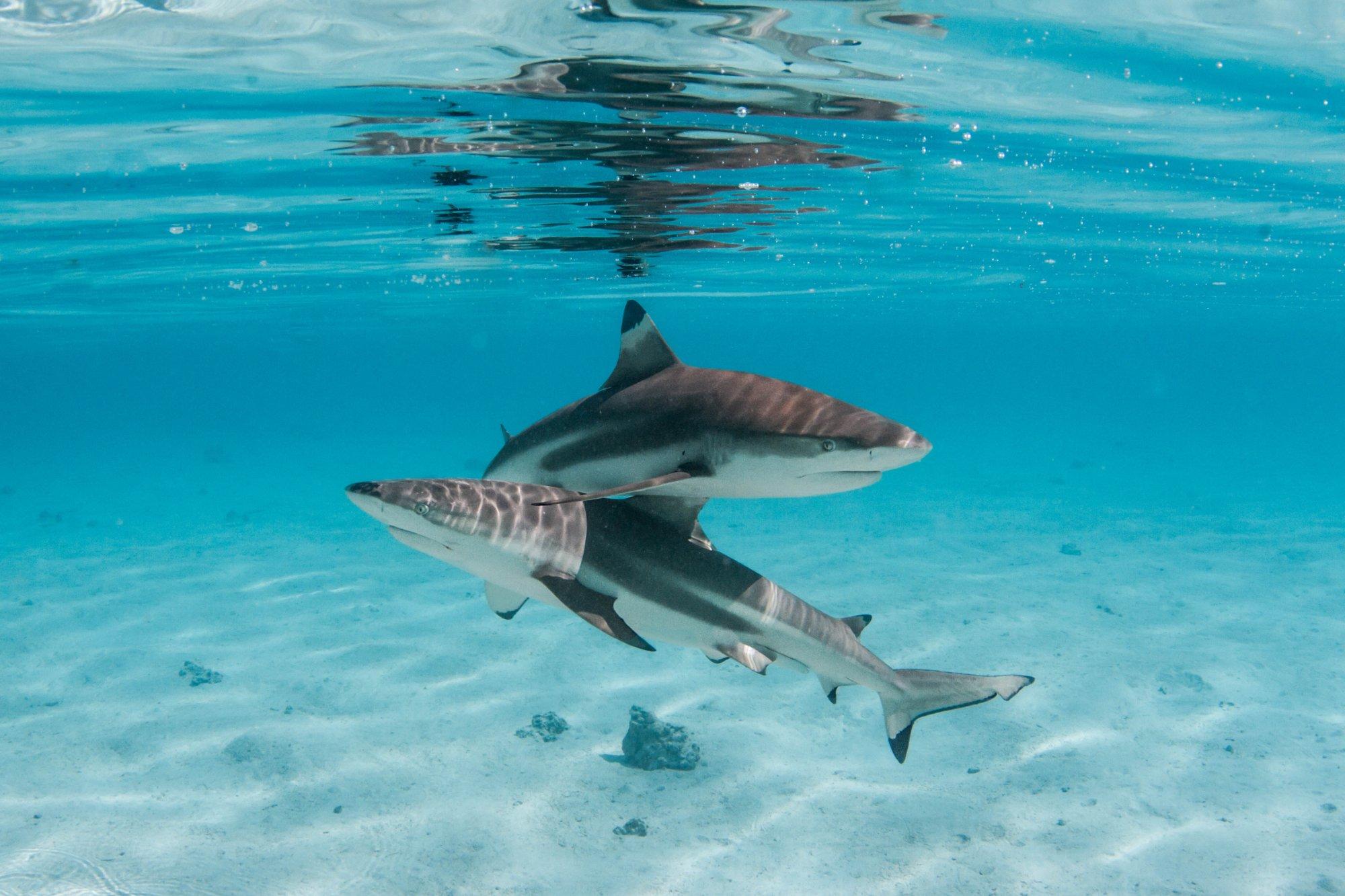 https://tahititourisme.com/wp-content/uploads/2020/06/deux-magnifiques-requins.jpg